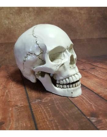 Schedel Doodskop Skull