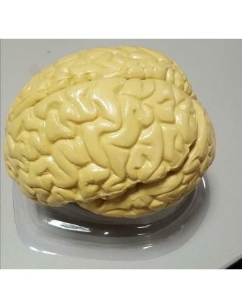 Anatomisch model Hersenen