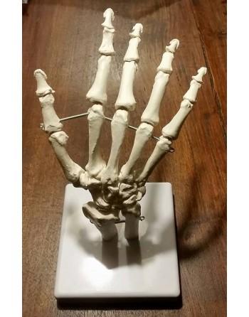 Anatomisch model Hand
